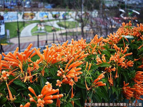 永吉公園04-一旁的炮仗花叢.JPG