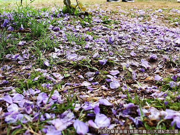 大湖紀念公園11-草皮上的紫藤花落葉.JPG