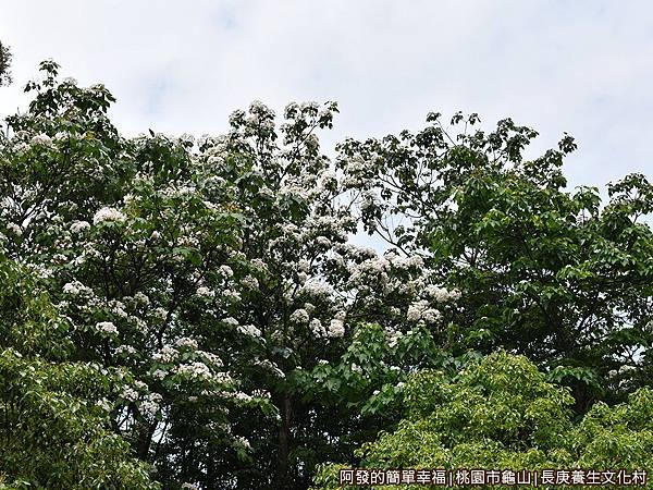 長庚養生文化村08-樹梢上盛開的油桐花.JPG