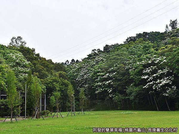 長庚養生文化村12-大草皮旁盛開的油桐花.JPG