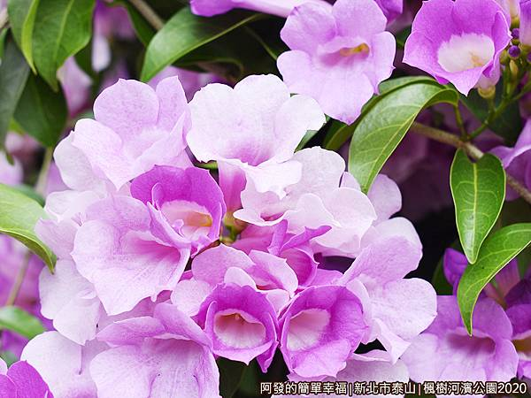 2020楓樹河濱公園08-蒜香藤特寫花如其名,散發著淡淡如蒜般的芳香~.JPG