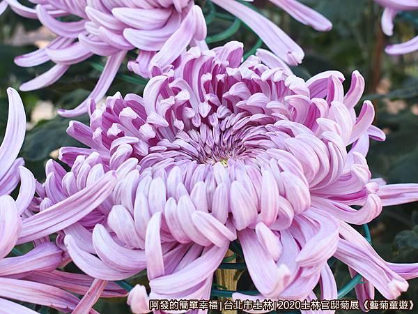 士林官邸菊展藝菊童遊06-盛開的紫色大菊花.JPG