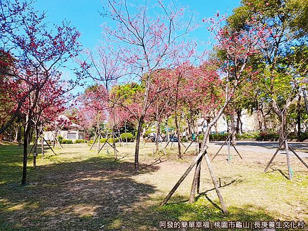 長庚養生文化村07-第二停車場旁的小型櫻花林.jpg