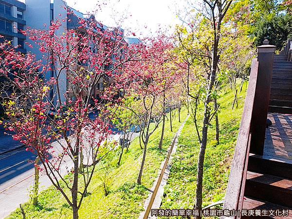 長庚養生文化村17-一旁盛開的櫻花.jpg