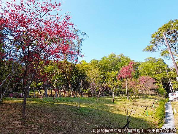 長庚養生文化村04-第二停車場旁山坡的櫻花樹.jpg