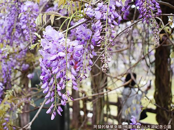 大湖紀念公園12-紫藤花懸掛而下.JPG