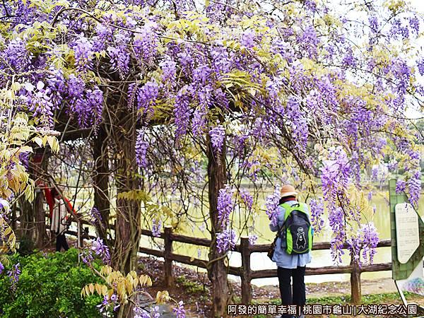 大湖紀念公園09-盛綻茂密的紫藤花.JPG