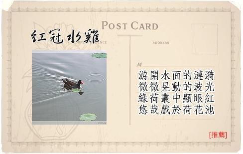 Travel Guide台北植物園-13紅冠水雞