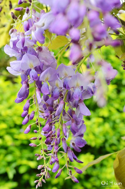 淡水紫藤咖啡館05.jpg