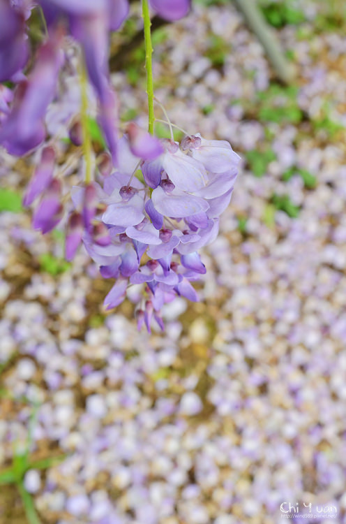 淡水紫藤咖啡館15.jpg
