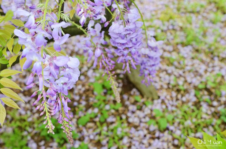 淡水紫藤咖啡館19.jpg