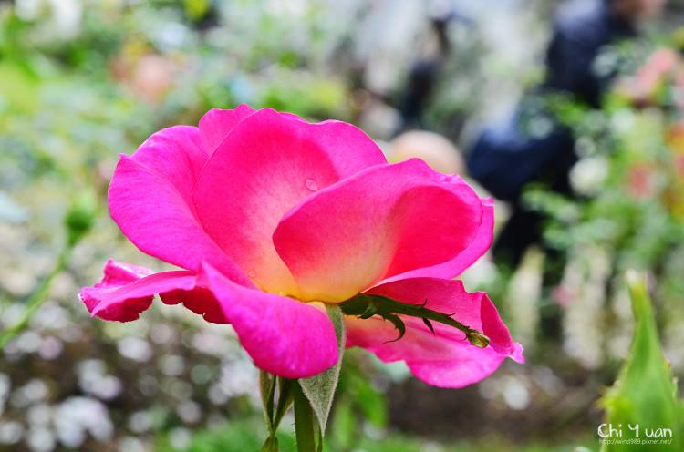 2013士林官邸玫瑰季12.jpg