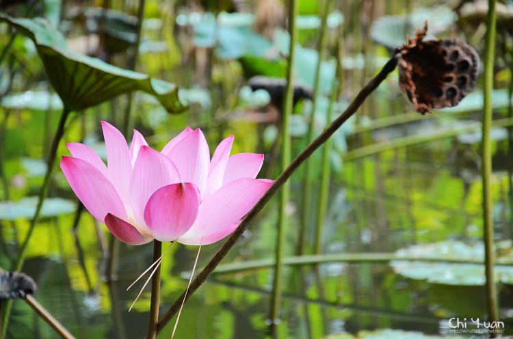 植物園夏荷01.jpg