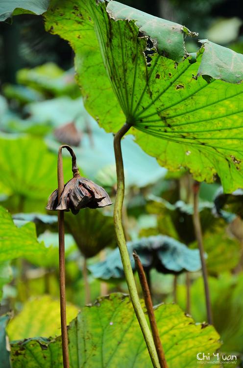 植物園夏荷09.jpg
