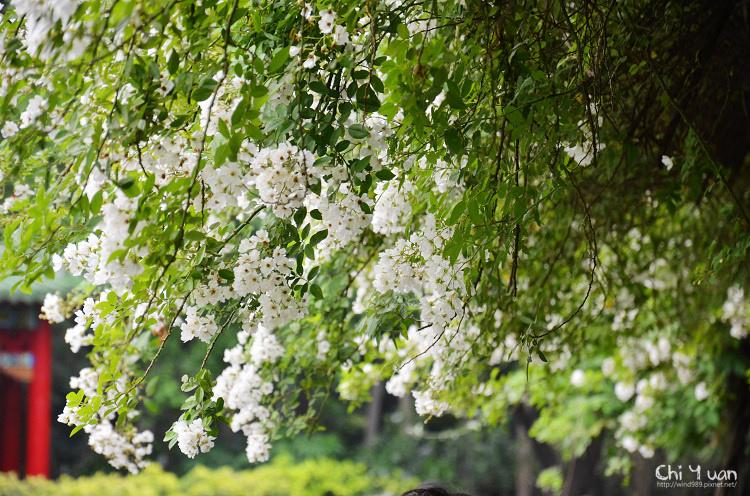 植物園野薔薇01.jpg