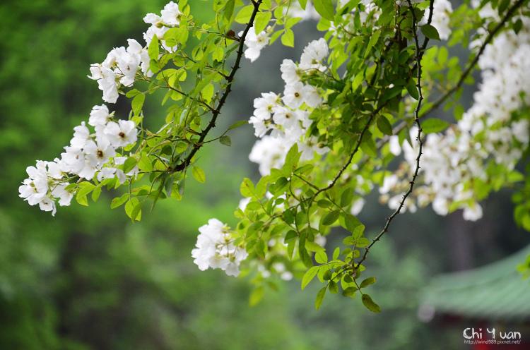 植物園野薔薇06.jpg