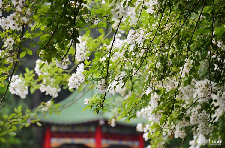 植物園野薔薇05.jpg