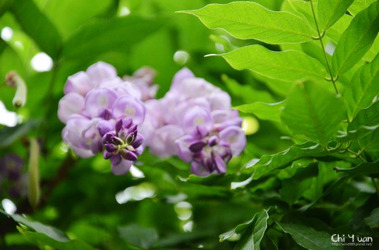 植物園紫藤01.jpg