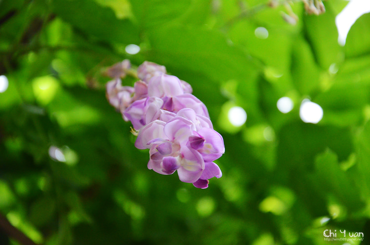 植物園紫藤02.jpg