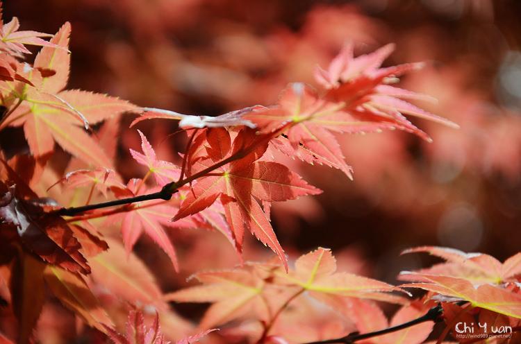 竹子湖紅楓02.jpg