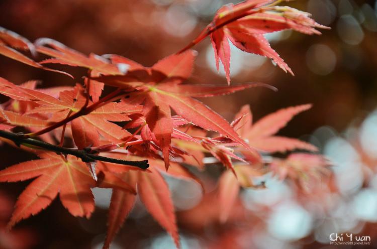 竹子湖紅楓07.jpg
