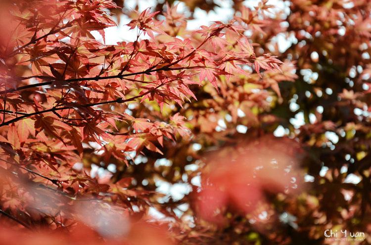 竹子湖紅楓09.jpg