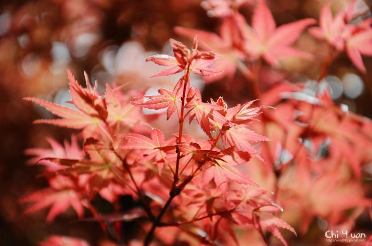 竹子湖紅楓10.jpg
