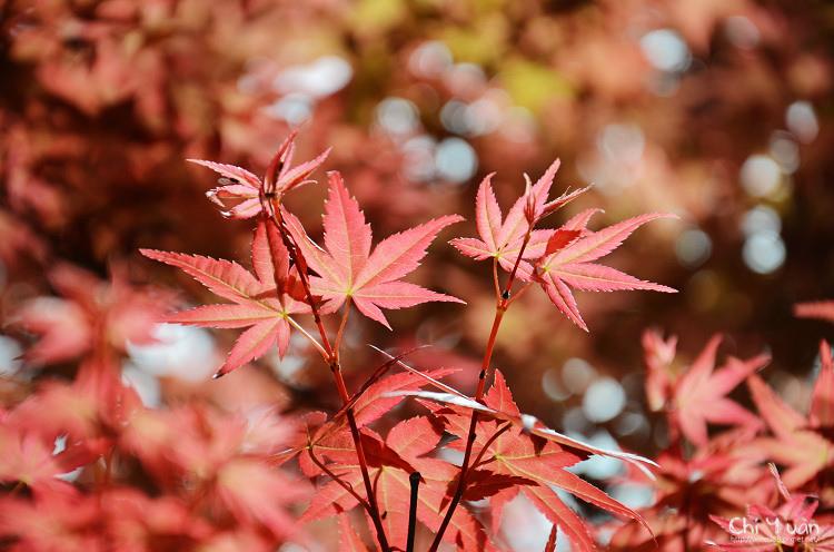 竹子湖紅楓11.jpg