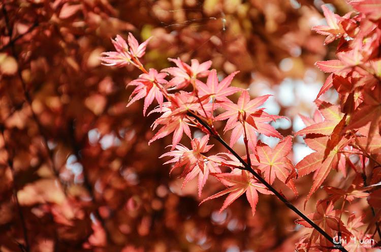 竹子湖紅楓14.jpg