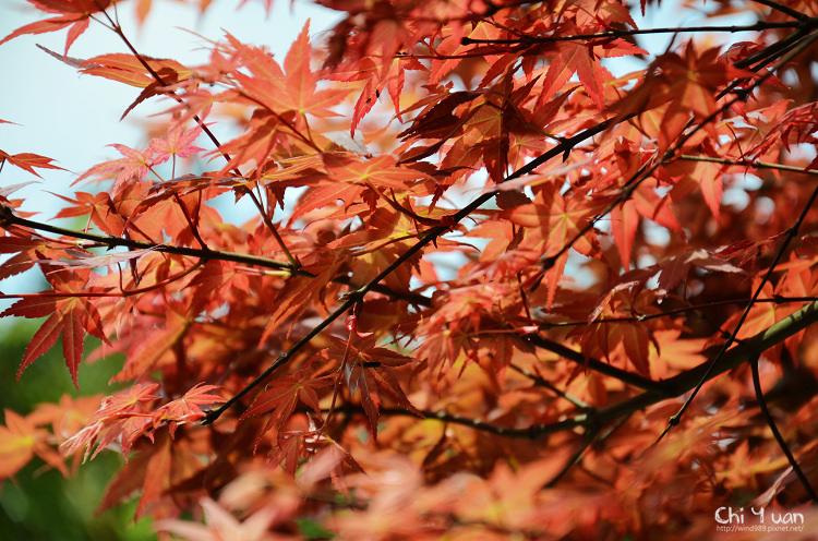 竹子湖紅楓17.jpg