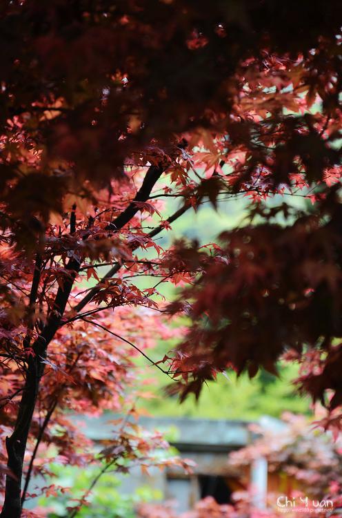 竹子湖紅楓22.jpg