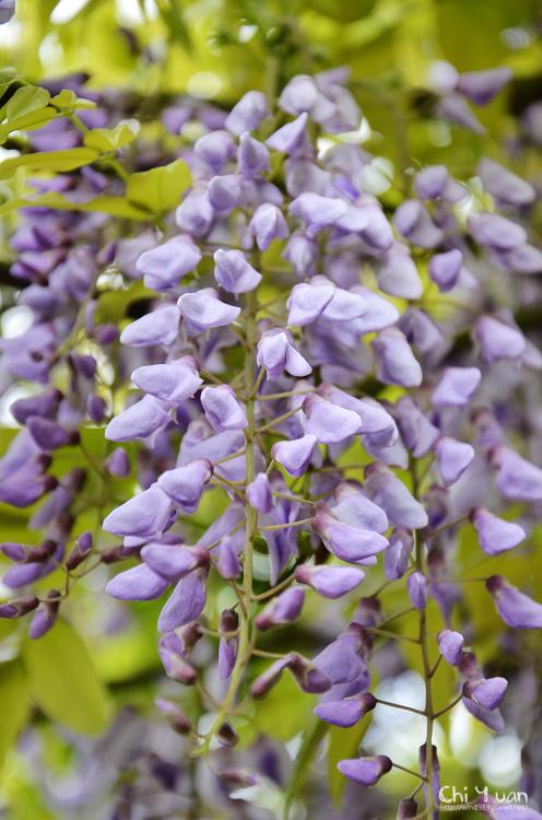 竹子湖紫藤03.jpg