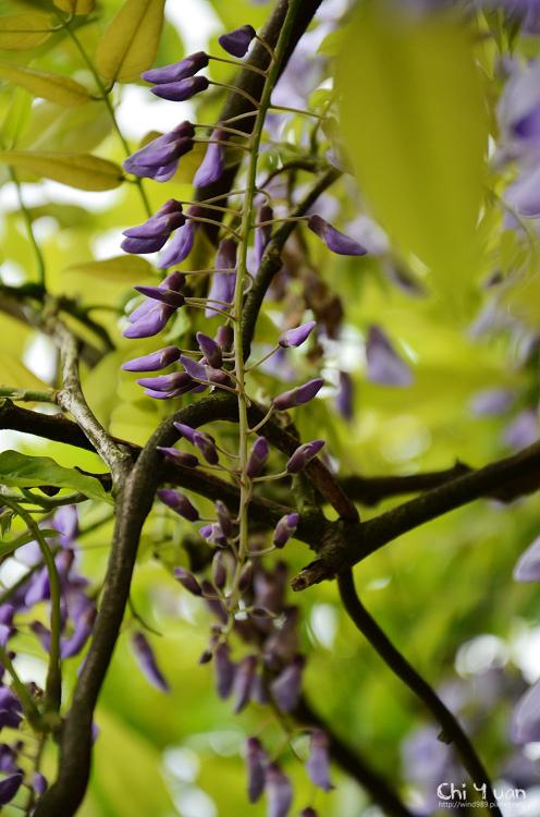 竹子湖紫藤05.jpg