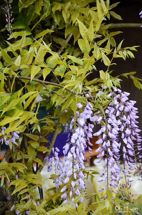 竹子湖紫藤06.jpg