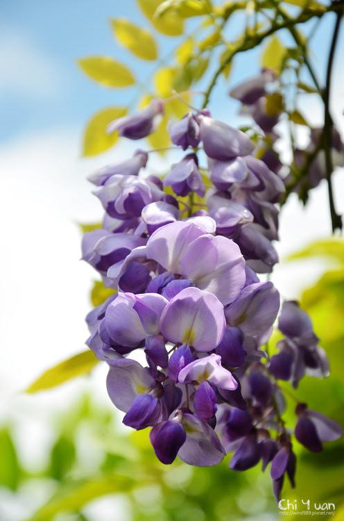 竹子湖紫藤08.jpg