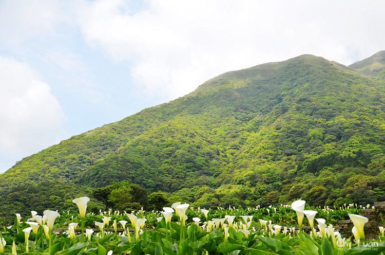 2012竹子湖海芋季01.jpg