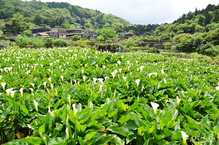 2012竹子湖海芋季04.jpg