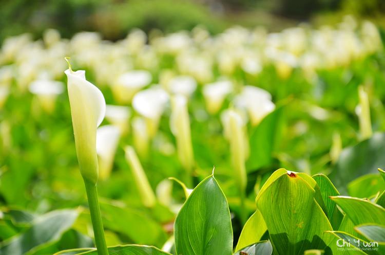 2012竹子湖海芋季06.jpg
