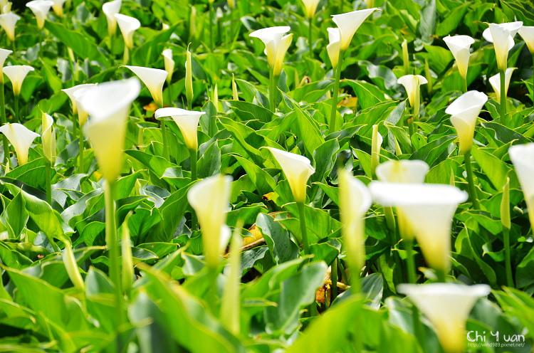 2012竹子湖海芋季08.jpg