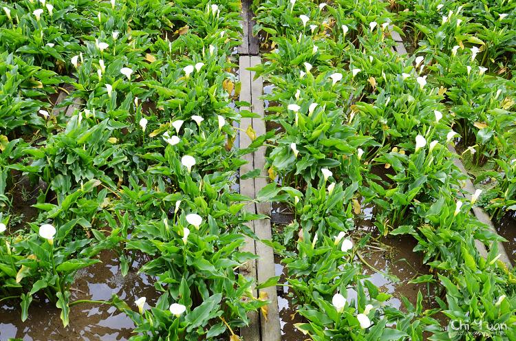 2012竹子湖海芋季15.jpg