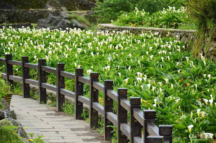 2012竹子湖海芋季16.jpg