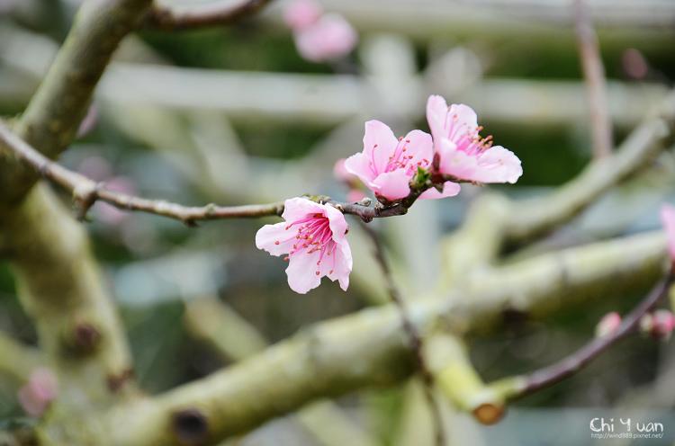 拉拉山水蜜桃花13.jpg