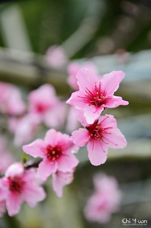 拉拉山水蜜桃花10.jpg