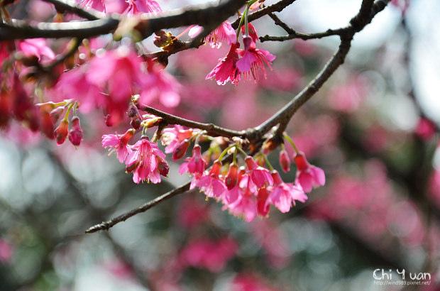 2012陽明山花季05.jpg
