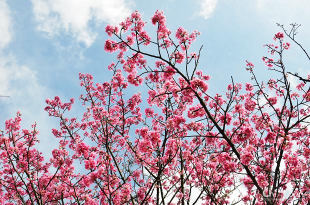 2012陽明山花季12.jpg