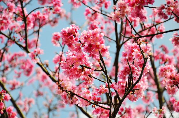 2012陽明山花季13.jpg
