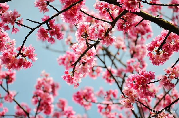 2012陽明山花季15.jpg