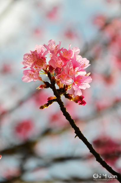 2012陽明山花季16.jpg