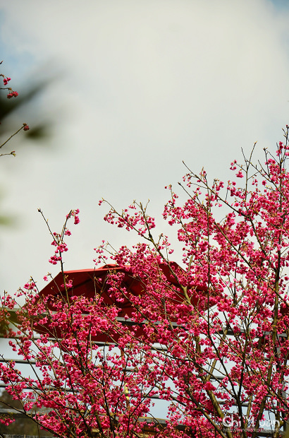 2012陽明山花季19.jpg