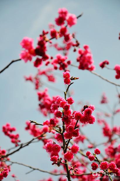 2012陽明山花季21.jpg